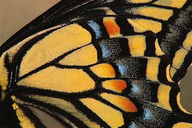 Asa de borboleta da espécie Anise swallowtail
