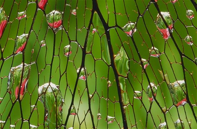Close nas gotículas d´água em uma folha danificada em Maui, no Havaí