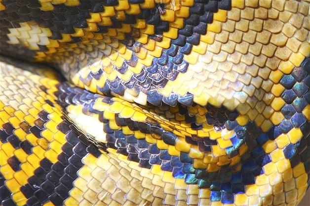 Escamas de cobra da espécie Boa
