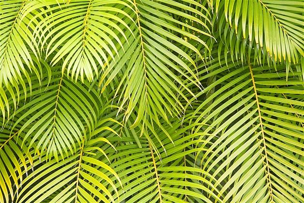Folhas de palmeira em Maui, no Havaí