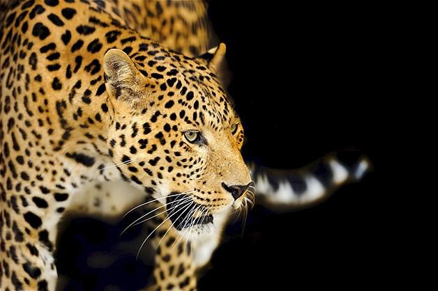 Jovem leopardo com o escuro ao fundo