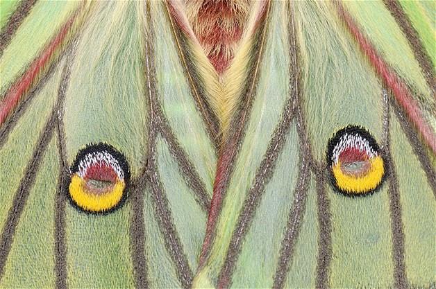 Mariposa espanhola fêmea adulta moon moth com olhos nas pontas das asas