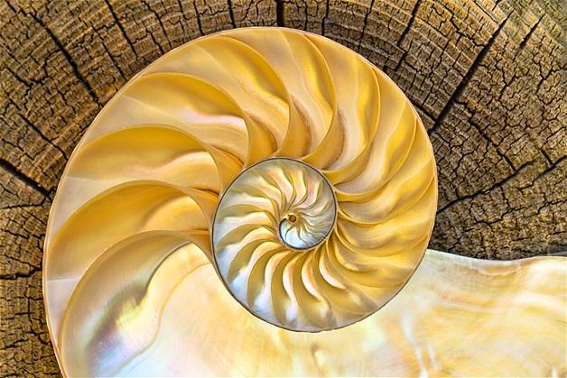 Parte de dentro de uma concha Nautilus que foi cortada ao meio e colocada em cima de uma madeira