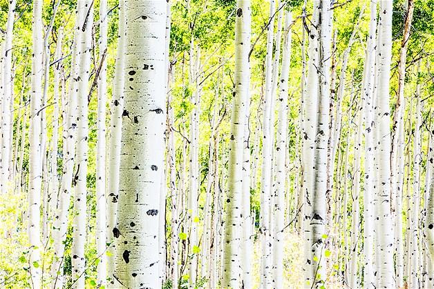 Uma floresta de árvores de álamo no outono