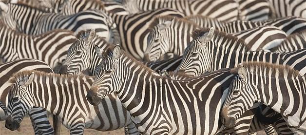 Zebras no Quênia
